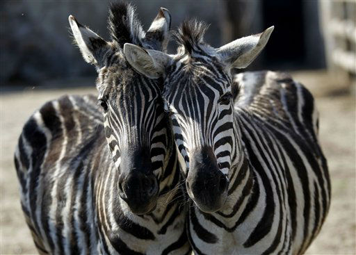 A pair of zebras brush against each other at a zoo in Pyongyang, North Korea, Thursday, April 26, 2012. &#40;AP Photo&#47;Ng Han Guan&#41; <span class=meta>(AP Photo&#47; Ng Han Guan)</span>