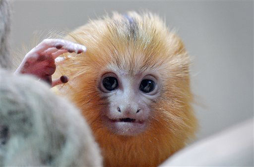 A little Golden Lion Tamarin watches at the zoo in Duisburg, Germany, Thursday, May 3, 2012. Two tlittle lion apes were born only six weeks ago. &#40;AP Photo&#47;Martin Meissner&#41; <span class=meta>(AP Photo&#47; Martin Meissner)</span>