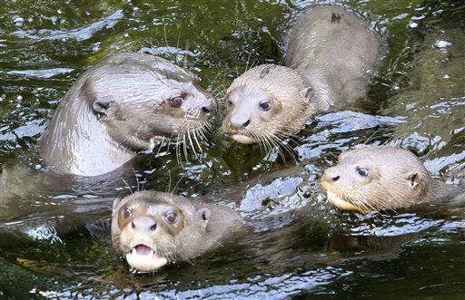 Eine Familie Riesenotter &#40;Pteronura brasiliensis&#41; schwimmt am Freitag &#40;04.05.12&#41; im Zoo Leipzig in ihrem Bassin. Riesenotter leben im suedamerikanischen Regenwald und werden selten in Tierparks gehalten. Foto: Sebastian Willnow&#47;dapd <span class=meta>(Photo&#47;Sebastian Willnow)</span>