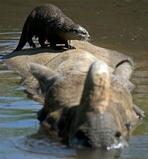 Ein Zwergotter &#40;Aonyx cinerea&#41; klettert am Samstag &#40;26.05.12&#41; im Zoologischen Garten in Basel &#40;Schweiz&#41; auf einem in einem Wassergraben schwimmendem Indischen Panzernashorn &#40;Rhinoceros unicornis&#41; herum. Foto: Ronald Wittek&#47;dapd <span class=meta>(Photo&#47;Ronald Wittek)</span>