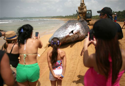 "<div class=""meta ""><span class=""caption-text "">Onlookers take pictures of the body of a sperm whale as it is dragged by a bulldozer at a beach in Luquillo, Puerto Rico, Sunday, June 3, 2012. A marine mammal expert in Puerto Rico said rescuers were unable to save a sperm whale about the size of a city bus that was stranded just off the island's north coast. (AP Photo/Ricardo Arduengo) (AP Photo/ Ricardo Arduengo)</span></div>"