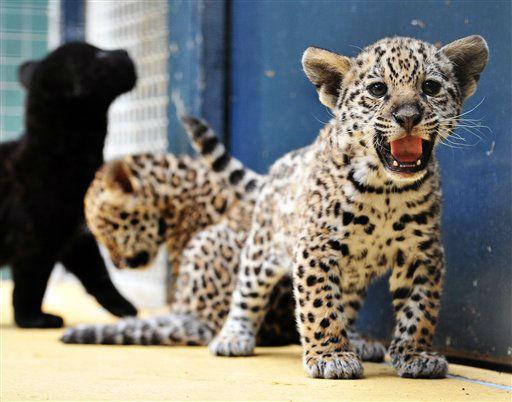 Jaguar-Drillinge (Panthera onca) spielen am Dienstag (12.06.12) in ihrem Gehege im Zoo in Berlin. Die drei Katzenkinder wurden am 16. April 2012 geboren. Es ist der erste Zuwachs bei den Jaguaren nach zwei Jahren Pause. Waehrend zwei der drei Katzen die typische Fleckenzeichnung aufweisen, hat das dritte Tier schwarzes Fell. Foto: Paul Zinken/dapd