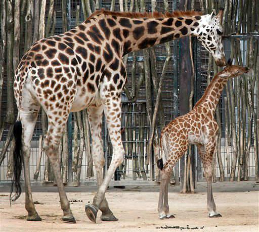 """<div class=""""meta image-caption""""><div class=""""origin-logo origin-image """"><span></span></div><span class=""""caption-text"""">Ein erst knapp zehn Tage alter, noch namenloser Rothschild-Giraffenbulle (Giraffa camelopardalis rothschildi), steht am Donnerstag (14.06.12) im Zoo Hannover bei seinem ersten Ausflug ins Freie neben seiner Mutter Shahni. Das Jungtier ist bereits rund zwei Meter gross und wog bei seiner Geburt 100 Kilogramm. Foto: Focke Strangmann/dapd</span></div>"""