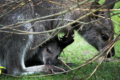 Ein junges Bennett-Kaenguru (Macroups rufogriseus) blickt am Donnerstag (14.06.12) im Zoo Hannover aus dem Beutel seiner Mutter. Die auch Bennett-Wallaby genannte Tierart lebt eigentlich in Tasmanien, kommt jedoch auch mit einem tristen und kuehlen Fruehsommertag in der niedersaechsischen Landeshauptstadt zurecht. Foto: Focke Strangmann/dapd