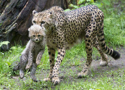 ARCHIV: Gepardenmutter &#40;Acinonyx jubatus&#41; &#34;Kelly&#34; traegt im Tiergarten in Nuernberg in ihrem Gehege ein Jungtier im Maul &#40;Foto vom 16.05.12&#41;. Ein junger Gepard ist aus dem Nuernberger Zoo ausgebuext. Das drei Monate alte Tier sei am Donnerstag &#40;21.06.12&#41; ueber den drei Meter hohen Zaun seines Geheges geklettert und seither trotz intensiver Suche noch nicht wieder gefunden worden, teilten die Stadt Nuernberg und der Tiergarten am Freitag &#40;22.06.12&#41; mit. Von dem Tier gehe aber keine Gefahr fuer Menschen aus. Es sei veraengstigt und verstecke sich wahrscheinlich. Wegen seiner Faerbung sei es in der Vegetation nur schwer zu erkennen. Der entflohene Gepard war mit seiner Mutter und vier Wurfgeschwistern untergebracht. Als sich ein anderes Jungtier in einem Holunderbusch verklemmte und von Tierpflegern befreit werden musste, geriet er in Panik und fluechtete. Im Januar war schon einmal ein Gepard aus dem Gehege ausgebrochen. Er konnte aber nach zwei Stunden wieder gefangen werden. &#40;zu dapd-Text&#41; Foto: Timm Schamberger&#47;dapd <span class=meta>(Photo&#47;Timm Schamberger)</span>