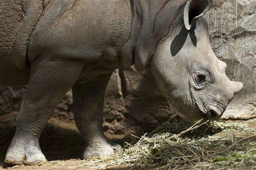 Das Nashornjungtier Mala frisst am Freitag &#40;22.06.12&#41; in Magdeburg im Zoo in seinem Gehege Gras. Das Nashorn wurde am 24. Dezember 2011 geboren. Fuer die 30 Jahre alte Nashornkuh Mana ist es das vierte Kind. Foto: Jens Schlueter&#47;dapd <span class=meta>(Photo&#47;Jens Schlueter)</span>