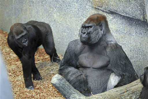 In this June 24, 2012 photo provided by the Chicago Zoological Society, Kamba, left, an 8-year-old female western lowland gorilla checks out new resident, JoJo, a 32-year-old male western lowland gorilla, at Tropic World at the Brookfield Zoo in Brookfield, Ill. JoJo is on a breeding loan from Lincoln Park Zoo based on a recommendation from the Association of Zoos and Aquariums? Gorilla Species Survival Plan. JoJo is currently one of the most genetically valuable males in the zoo population, and he is an excellent match for all three females currently at Brookfield Zoo. When Kamba turns 10, she will also be allowed to reproduce with JoJo. Until then, she will remain on birth control. &#40;AP Photo&#47;Chicago Zoological Society, Jim Schulz&#41; <span class=meta>(AP Photo&#47; Jim Schulz)</span>