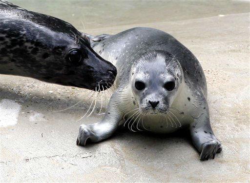 """<div class=""""meta """"><span class=""""caption-text """">Seehund-Mama Inga (l.) stupst am Donnerstag (28.06.12) am Rand des Wasserbeckens in der Seehundanlage im Zoo in Augsburg ihr vor sechs Tagen geborenes und bisher namenloses Seehund-Baby (Phoca vitulina) an. Der Seehund-Nachwuchs hat bisher keinen Namen, da die Tierpfleger bisher noch keine Gelegenheit hatten, das Geschlecht des Tieres herauszufinden. Vor neun Tagen kam im Augsburger Zoo ein weiteres Seehundbaby zur Welt. Foto: Annette Zoepf/dapd</span></div>"""