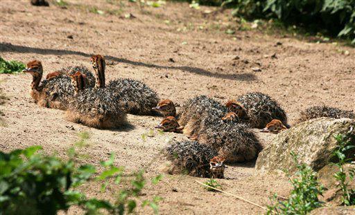10 der insgesamt 13 geschluepften Straussenkueken liegen am Sonntag &#40;01.07.12&#41; im Zoogehege im Zoo Schwerin in der Sonne. Die beiden Hennen Lilly und Lucy und der Hahn Lord seien &#34;ein sehr erfolgreiches Eltern-Trio&#34;, sagte die wissenschaftliche Assistentin des Zoos am Mittwoch &#40;04.07.12&#41; in Schwerin. Rund vier bis sechs Wochen lang sind die Kueken, die wie Federbaelle auf Beinen aussehen, im Aussengehege zu sehen. &#40;zu dapd-Text&#41; Foto: Zoo Schwerin&#47;dapd <span class=meta>(Photo&#47;Zoo Schwerin)</span>