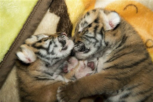 This undated photo provided by the Columbus Zoo and Aquarium in Powell, Ohio show Amur tiger cubs born in June 2012. The cubs, the first Amur tigers ever born at the zoo, are in intensive care as one regains strength following poor nursing. &#40;AP Photo&#47;Grahm Jones, Columbus Zoo and Aquarium&#41; <span class=meta>(AP Photo&#47; Grahm Jones)</span>