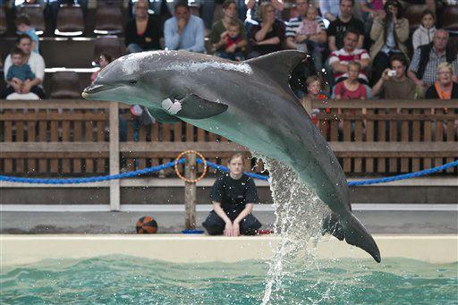 Ein Delfin der Delfinart Grosser Tuemmler &#40;Tursiops truncatus&#41; am Montag &#40;09.07.12&#41; im Delfinarium des Allwetterzoos in Muenster waehrend einer oeffentlichen Vorfuehrung. Die Anlage mit dem 10 Mal 20 Meter grossen Hauptbecken entspreche nicht mehr dem Zeitgeist. &#34;Wir haetten 20 Millionen Euro benoetigt, um die Delfinhaltung auf den neuesten Stand zu bringen&#34;, erklaert der Direktor des Allwetterzoos Muenster, Joerg Adler. Das Delfinarium entspreche zwar allen gesetzlichen Anforderungen, passe aber nicht mehr zur Philosophie des Zoos: &#34;Entweder wir halten die Tiere nach den modernsten Parametern oder wir trennen uns.&#34; Auch eine Besucherbefragung habe ergeben, dass die Mehrheit eine Haltung der Delfine nur in einem anderen Ambiente wuensche. Wenn die letzten drei Delfine den Zoo im Herbst verlassen haben, sind die Delfinarien in Duisburg und Nuernberg bundesweit die letzten. &#40;zu dapd-Text&#41; Foto: Jens Schlueter&#47;dapd <span class=meta>(Photo&#47;Jens Schlueter)</span>