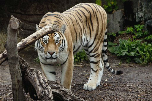 "<div class=""meta ""><span class=""caption-text "">A tiger walks in the tiger den in Copenhagen?s Zoo, Copenhagen on Wednesday, July 11, 2012. A 21-year-old man was found dead Wednesday inside a tiger den at the Copenhagen Zoo after having received a fatal bite to his throat, Danish police said. Lars Borg, a spokesman for the Copenhagen police, said it was unclear how or why the man had entered the pit, but said investigators could not exclude suicide as a motive. The victim is a foreign national who holds a Danish residence permit, but police would not immediately release his identity or his nationality. (AP Photo/Polfoto/Linda Johansen)  DENMARK OUT (AP Photo/ JOHANSEN LINDA)</span></div>"