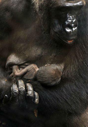 Ein Gorillababy liegt am Donnerstag &#40;12.07.12&#41; in Frankfurt am Main im Borgori-Wald des Frankfurter Zoos in den Armen seiner Mutter Rebecca. Das Jungtier kam in der Nacht vom 9. auf den 10. Juli 2012 auf die Welt. Foto: Mario Vedder&#47;dapd <span class=meta>(Photo&#47;Mario Vedder)</span>