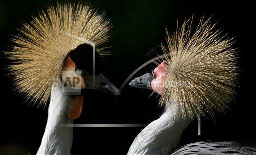 "<div class=""meta ""><span class=""caption-text "">Two Grey Crowned Cranes look at each other in their enclosure at the Berlin Zoo in Berlin, Germany, Tuesday, July 17, 2012. (AP Photo/Gero Breloer) </span></div>"