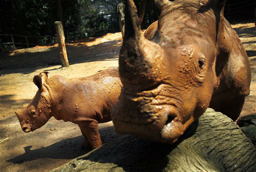 A mud-covered 3-month old male African Southern Rhino named Jumaane, left, wanders around his enclosure with his mother Shova at the Singapore Zoo on Tuesday July 17, 2012 in Singapore. The zoo was actively involved in educating the public about wildlife conservation and was also successful in breeding endangered species within the Zoo&#39;s premises. This is Shova&#39;s seventh successful birth. &#40;AP Photo&#47;Wong Maye-E&#41; <span class=meta>(AP Photo&#47; Wong Maye-E)</span>