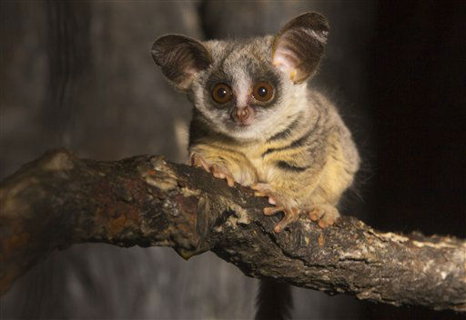 "<div class=""meta image-caption""><div class=""origin-logo origin-image ""><span></span></div><span class=""caption-text"">This Feb. 19, 2013 photo provided by the Lincoln Park Zoo in Chicago shows a Moholi bushbaby that was born at the zoo in January and has recently ventured from its nest. The tiny primate weighed just 0.3 ounces when it was born. The primates, native to Southern Africa, are very rare in zoos. Today, there are fewer than 20 in zoos in the United States.  (AP Photo/Courtesy the Lincoln Park Zoo, Todd Rosenberg) (AP Photo/ Todd Rosenberg)</span></div>"