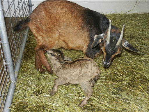 This March 12, 2013 photo provided by the Miller Park Zoo in Bloomington, Ill., shows a rare San Clemente goat named Breeze with its new born male kid that was born March 8. Officials say there are fewer than 500 of the goats in the world. The animals are a critically endangered heritage breed. They are from San Clemente Island off the California coast. Miller Park Zoo is the only accredited facility in Illinois to exhibit the breed. &#40;AP Photo&#47;Courtesy the Miller Park Zoo&#41; <span class=meta>(AP Photo&#47; Uncredited)</span>
