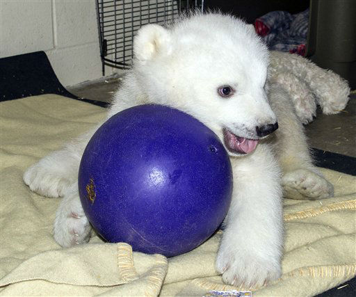 This photo provided by the Alaska Zoo and taken March 18, 2013, in Anchorage, Alaska, shows Kali, an orphaned polar bear cub who is being cared for at the zoo. The cub&#39;s mother was shot in Point Lay, Alaska, on March 12 and the cub is temporarily staying at the zoo in Anchorage until it has a permanent home. &#40;AP Photo&#47;Courtesy the Alaska Zoo, John Gomes&#41; <span class=meta>(AP Photo&#47; John Gomes)</span>
