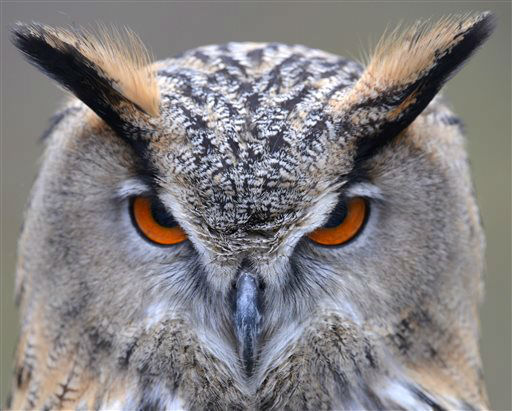 An Eurasian Eagle Owl sits in its enclosure in Munich&#39;s Hellabrunn zoo, Wednesday April 3, 2013.  &#40;AP Photo&#47;dpa, Frank Leonhardt&#41; <span class=meta>(AP Photo&#47; Frank Leonhardt)</span>