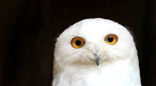 A Snowy Owl sits in its enclosure in the amusement park Geiselwind, southern Germany Thursday April 4, 2013. &#40;AP Photo&#47;dpa,Karl-Josef Hildenbrand&#41; <span class=meta>(AP Photo&#47; Karl-Josef Hildenbrand)</span>