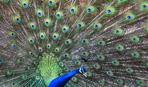 "<div class=""meta ""><span class=""caption-text "">A male Indian peacock photographed at amusement park Geiselwind, southern Germany Thursday April 4, 2013. (AP Photo/dpa, Karl-Josef Hildenbrand) (AP Photo/ Karl-Josef Hildenbrand)</span></div>"