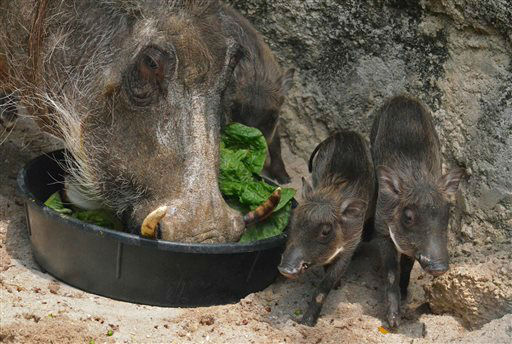 In this Wednesday, June 26, 2013 photo provided by The Maryland Zoo, three young common warthogs are shown, from right, at the zoo, with their mother, left, in Baltimore. Four common warthogs born last month are now on exhibit at the zoo. The piglets, three females and one male, were born June 8 to Kumari, an 8-year-old female warthog. Zoo officials say the piglets weighed between 1.2 and 1.7 pounds at their first veterinary exam, and have grown to five and six pounds each. (AP Photo/The Maryland Zoo)