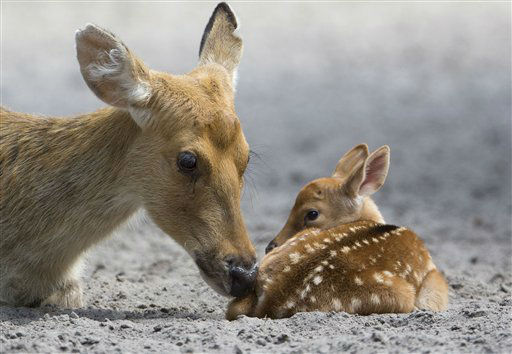 A male Barasingha deer calf, right, lies next to his mother in its enclosure at Berlin Zoo in Berlin, Germany, Tuesday, Aug. 7, 2012. &#40;AP Photo&#47;Gero Breloer&#41; <span class=meta>(AP Photo&#47; Gero Breloer)</span>