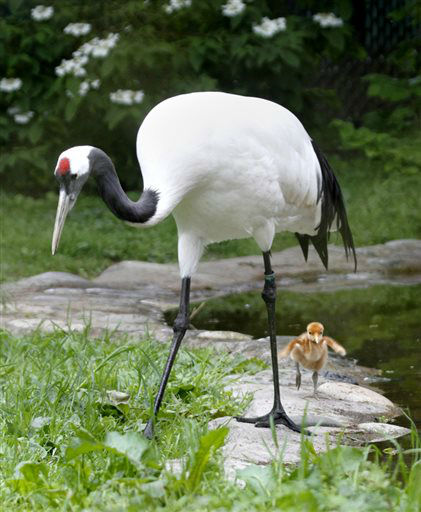 This image provided by the Woodland Park Zoo shows the new red-crowned crane chick with one of its parents. Woodland Park Zoo?s new red-crowned crane chick is on a mission, living as an ambassador for cranes facing habitat loss and life-threatening, human-wildlife conflicts in their Asian range. The zoo is working to bring back the red-crowned crane population in partnership with Muraviovka Park for Sustainable Land Use and the International Crane Foundation, through the zoo?s Partners for Wildlife. &#40;AP Photo&#47;Woodland Park Zoo, Dennis Dow&#41; <span class=meta>(AP Photo&#47; Dennis Dow)</span>