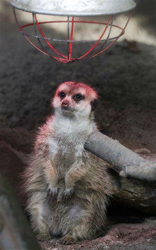 """<div class=""""meta image-caption""""><div class=""""origin-logo origin-image """"><span></span></div><span class=""""caption-text"""">Ein Erdmaennchen steht am Montag (05.11.12) unter einer Waermelampe in seinem Gehege im Opel-Zoo in Kronberg. Die Zoologischen Gaerten und Tierparks in Hessen machen sich winterfest. Dabei belasten die steigenden Kosten fuer Energie und Futter die Kassen der Zoos. (zu dapd-Text) Foto: Alex Domanski/dapd</span></div>"""