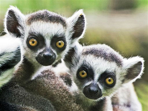 Seven weeks old ring-tailed lemur &#40;Lemur catta&#41; twins  sit in their enclosure  in the Zoo in Erfurt, central Germany, Friday, May 17, 2013. &#40;AP Photo&#47;Jens Meyer&#41; <span class=meta>(AP Photo&#47; Jens Meyer)</span>