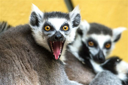 Ring-tailed lemurs sit in their enclosure in the zoo in Straubing, southern Germany, Monday March 25, 2013. &#40;AP Photo&#47;dpa, Armin Weigel&#41; <span class=meta>(AP Photo&#47; Armin Weigel)</span>