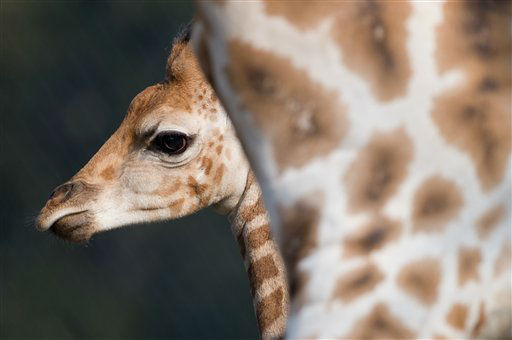 Male giraffe Tamu explores the  enclosure in the Tierpark Hagenbeck  zoo in?Hamburg, Germany, Tuesday April 16, 2013.  The young giraffe, born in March,  was allowed to the outdoor facilities for the first time.  &#40;AP Photo&#47;dpa,Sven Hoppe&#41; <span class=meta>(AP Photo&#47; Sven Hoppe)</span>