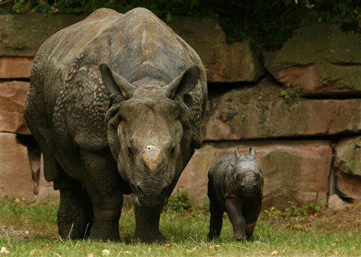 ARCHIV: Das Panzernashorn-Maedchen Seto Paitala &#40;nepalesisch fuer weisser Fuss&#41; geht im Tiergarten in Nuernberg neben seiner Mutter Purana im Gehege &#40;Foto vom 03.09.09&#41;. Der Nuernberger Zoo trauert um das Panzernashorn Purana. Das 1992 in Basel geborene Weibchen sei am Mittwochabend &#40;14.11.12&#41; eingeschlaefert worden, nachdem es sich von einer starken Augenentzuendung trotz medikamentueser Behandlung nicht erholt habe und immer schwaecher geworden sei, teilte der Zoo am Donnerstag &#40;15.11.12&#41; mit. &#40;zu dapd-Text&#41; Foto: Timm Schamberger&#47;dapd <span class=meta>(Photo&#47;Timm Schamberger)</span>