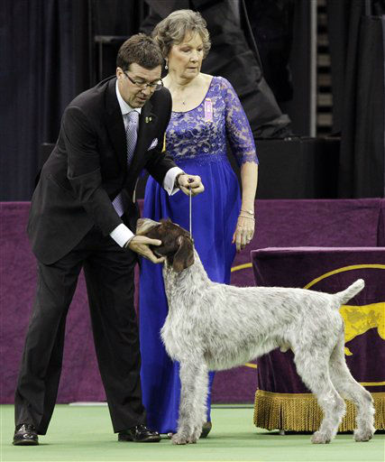 Oakley, a German wirehaired pointer and winner of the Sporting group, is judged during the 137th Westminster Kennel Club dog show, Tuesday, Feb. 12, 2013, at Madison Square Garden in New York. &#40;AP Photo&#47;Frank Franklin II&#41; <span class=meta>(AP Photo&#47; Frank Franklin II)</span>