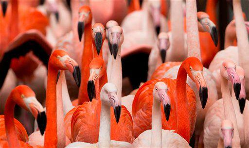"""<div class=""""meta """"><span class=""""caption-text """">Flamingos draengen am Donnerstag (10.01.13) im Tierpark Hellabrunn in Muenchen waehrend der Jahres-Inventur dicht nebeneinander von ihrem Innengehege in den Aussenbereich, nachdem die Tuer dorthin geoeffnet wurde. Die Flamingos wurden alle auf einmal ins Aussengehege gelassen, damit sie beim Betreten des Gelaendes uebersichtlicher gezaehlt werden konnten. Wie bei anderen Unternehmen findet im Tierpark Hellabrunn jeweils zum Jahreswechsel eine Inventur statt. Im Falle des Tierparks steht allerdings vor allem die Anzahl der Tiere sowie deren jeweilige Daten wie Groesse und Gewicht im Vordergrund. Laut Zoodirektor Andreas Knieriem gehoert Hellabrunn mit insgesamt 19.183 Tieren und 757 Arten zu den tier- und artenreichsten europaeischen Zoos. Das schwerste Tier im Zoo ist den Messungen nach Elefantenkuh Panang mit 4,5 Tonnen, das groesste Tier ist Giraffenbulle Togo mit einer Hoehe von 4,40 Meter und das laengste Tier, Anakonda Anna, misst 4,10 Meter, und das aelteste Tier ist Riesenschildkroete Paul. Demgegenueber nimmt sich das kleinste Tier Bescheiden aus: laut Tierpark nimmt diesen Platz die Blattschneide-Ameise Resi mit nur 0,5 Zentimetern ein. Foto: Joerg Koch/dapd</span></div>"""