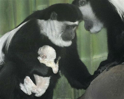 An baby black-and-white colobus monkey, whose gender is not known at this time, holds tight to it&#39;s mother Kiri, at the Maryland Zoo in Baltimore, in a photo provided by the Maryland Zoo in Baltimore. The baby colobus monkey was born Tuesday, March 19, 2013 at the Maryland Zoo in Baltimore, and is the second baby for zoo?s colobus pair, Keri, age 15 and Bisi, age 20. Another unrelated female, Hera, is at far right. Colobus monkeys are found in equatorial Africa. The Maryland Zoo now has five colobus monkeys. &#40;AP Photo&#47;Maryland Zoo in Baltimore&#41; <span class=meta>(AP Photo&#47; Uncredited)</span>