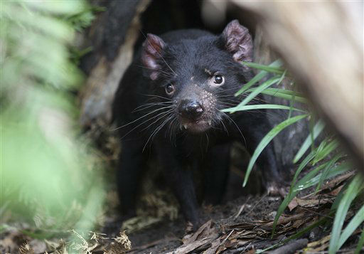 Big John the Tasmanian devil growls from the confines of his new tree house as he makes his first appearance at the Wild Life Sydney Zoo in Sydney Friday, Dec. 21, 2012 after arriving in his new home. The Tasmanian devil is the largest carnivorous marsupial in the world. &#40;AP Photo&#47;Rob Griffith&#41; <span class=meta>(AP Photo&#47; Rob Griffith)</span>