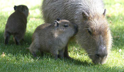 Zwei Capybara-Jungtiere &#40;Hydrochaeris hydrochaeris capybara, zu deutsch Wasserschwein&#41; stehen am Donnerstag &#40;11.10.12&#41; im Zoo in Koeln neben ihrer Mutter Maggie. Maggie hat am Feitag &#40;05.10.12&#41; im Koelner Zoo fuenf Jungtiere geboren. Foto: Hermann J. Knippertz&#47;dapd <span class=meta>(Photo&#47;Hermann J. Knippertz)</span>