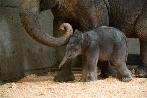 This Friday Nov. 30, 2012 photo provided by the Oregon Zoo shows a newborn female Asian elephant calf in the elephant maternity ward with her mother Rose-Tu at the Oregon Zoo in Portland, Ore. The Oregon Zoo says Rose-Tu gave birth to the 300-pound female calf at 2:17 a.m. Friday, and the youngster is healthy, vigorous and loud. &#40;AP Photo&#47;Oregon Zoo, Michael Durham&#41; <span class=meta>(AP Photo&#47; Michael Durham)</span>