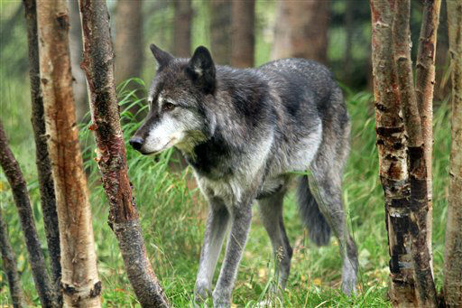Denali, a male gray wolf, walks between trees at the Alaska Zoo on Wednesday, Sept. 5, 2012, in Anchorage, Alaska. The 6-year-old wolf  is one of two candidates for zoo &#34;president&#34; in a fundraiser that matches the timing of the U.S. presidential race. He&#39;s running against Ahpun, a polar bear, and ballots are &#36;1. &#40;AP Photo&#47;Dan Joling&#41; <span class=meta>(AP Photo&#47; Dan Joling)</span>