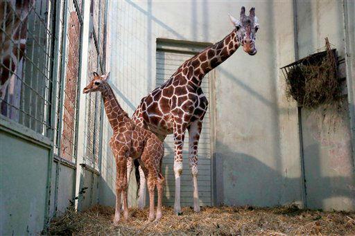 """Das Netzgiraffen-Jungtier (Giraffa camelopardalis reticulata) """"Jengo"""" steht am Dienstag (29.01.13) mit seiner Mutter Chiara in seinem Gehege im Zoo in Frankfurt am Main. Das Jungtier kam am 12. Januar mit einem Gewicht von 62,6 kg und einer Groesse von 1,78 m zur Welt. Um den Tieren etwas Ruhe zu goennen, verbrachten Mutter Chiara und ihr Nachwuchs die ersten Tage unter Ausschluss der Oeffentlichkeit und getrennt von Vater Hatari und den anderen Giraffen. Foto: Alex Domanski/dapd"""