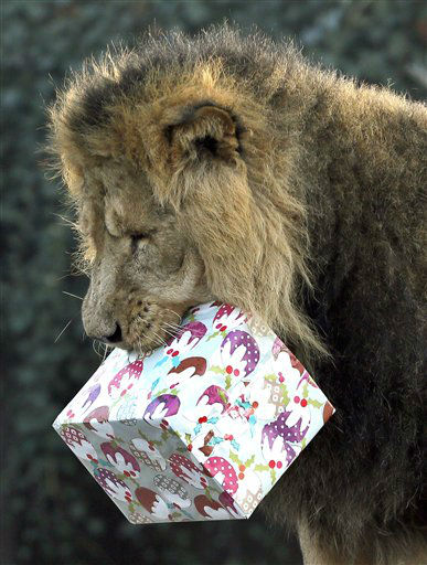 Lucifer the lion grabs hold of a Christmas present given to him during a media opportunity at London Zoo, Wednesday, Dec. 12, 2012. The animals at ZSL London Zoo are set to enjoy a wild Christmas this year, with some very merry treats. Lion cubs Heidi and Indi have definitely made it on to Santa?s ?good? list and will be getting their paws on some presents, whilst the penguins will be treated to festive fishy gifts under the tree.   &#40;AP Photo&#47;Kirsty Wigglesworth&#41; <span class=meta>(AP Photo&#47; Kirsty Wigglesworth)</span>
