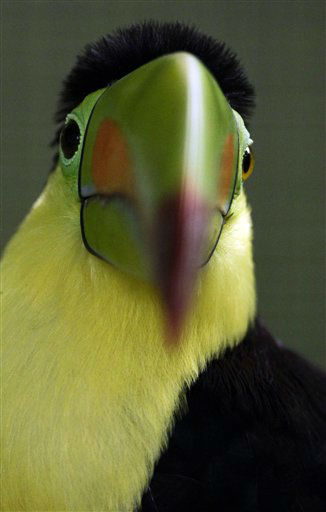 "<div class=""meta image-caption""><div class=""origin-logo origin-image ""><span></span></div><span class=""caption-text"">A Keel-billed Toucan (Ramphastos sulfuratus) sits in a cage at the Summit zoo in Panama City, Monday, June 17, 2013. (AP Photo/Arnulfo Franco) (AP Photo/ Arnulfo Franco)</span></div>"
