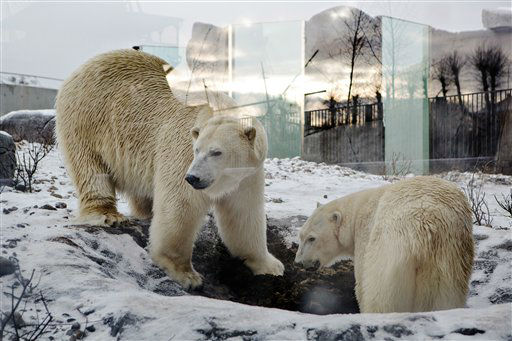In this photo taken on Tuesday, Jan. 22, 2013 polar bears Noel and Ivan in the newly inaugurated  Artic Circle, in Copenhagen Zoo. The area will be open to the public from  Feb 5.  &#40;AP Photo&#47;Polfoto, Stine Bidstrup&#41;  DENMARK OUT <span class=meta>(AP Photo&#47; BIDSTRUP STINE)</span>
