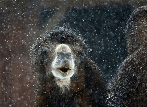 A camel braves the heavy snowfall at the zoo in Frankfurt, central Germany, Tuesday, Feb. 19, 2012. &#40;AP Photo&#47;dpa, Arne Dedert&#41; <span class=meta>(AP Photo&#47; Arne Dedert)</span>