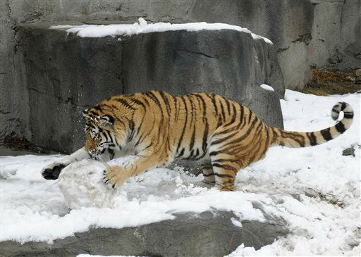 In this photo provided by the Chicago Zoological Society, Max, a 2-year-old Amur tiger, plays with what is left of a snowman that his keepers made for him Wednesday, Feb. 27, 2013, at the Brookfield Zoo in Brookfield, Ill. Before being knocked down, the snowman featured meat for eyes and buttons, as well as bones for feet. The Chicago Zoological Society???s Animal Programs staff provides enrichment to the animals that encourages natural behavior by physically and mentally stimulating them with a variety of items that they may not receive on a regular basis. (AP Photo/Chicago Zoological Society, Jim Schulz)