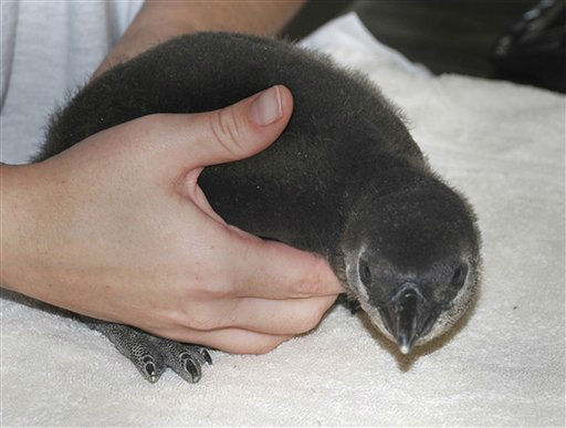 In this photo provided by the Little Rock Zoo and taken Nov.19, 2012, a three-week old African penguin is held in Little Rock, Ark. The bird, hatched at the zoo Oct. 30, 2012, will not be exhibited until it is about 70 days old or if its parents allow it to wander out of the nest. &#40;AP Photo&#47;Little Rock Zoo, Stephanie Hollister&#41; <span class=meta>(AP Photo&#47; Stephanie Hollister)</span>