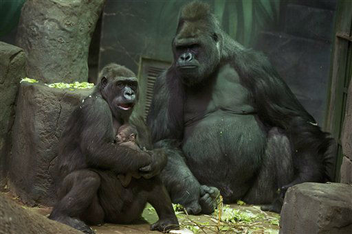 A gorilla holds her baby in Moscow Zoo, Friday, Feb. 8, 2013. The baby gorilla was born at Moscow Zoo on Wednesday.  &#40;AP Photo&#47;Vadim Belkin&#41; <span class=meta>(AP Photo&#47; Vadim Belkin)</span>
