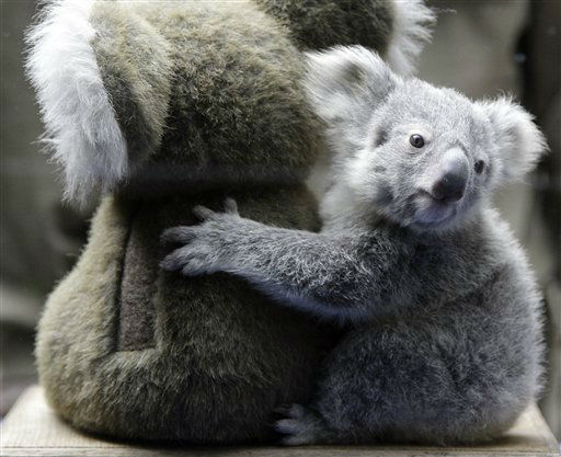 The yet unnamed male koala joey sits next to a toy Koala, in an attempt to make weighing him easier, at the Zoo in Duisburg, western Germany on Wednesday March 27, 2013. The little Koala left his mother&#39;s pouch after six months for the first time and is one of two newborn joeys.  The Duisburg Zoo is one of the major breeding units for Koalas in Europe. &#40;AP Photo&#47;Frank Augstein&#41; <span class=meta>(AP Photo&#47; Frank Augstein)</span>
