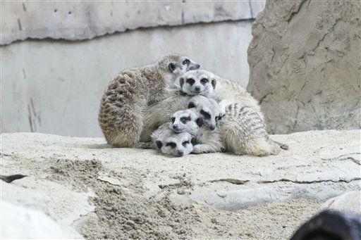 Meerkats huddle together as it rains at the Dusit Zoo in Bangkok, Thailand on Monday, Jan. 30, 2012. &#40;AP Photo&#47;Sakchai Lalit&#41; <span class=meta>(AP Photo&#47; Sakchai Lalit)</span>